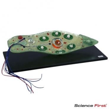 Euglena Model