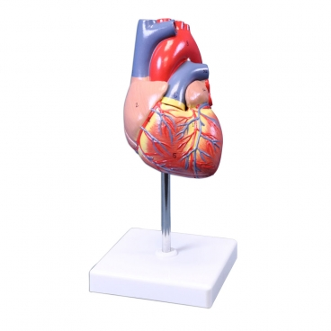 Heart Model, Natural Size 2 Pc.