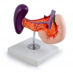 Pancreas, Duodenum & Spleen. 1 Pc Model On Stand, Life Size.